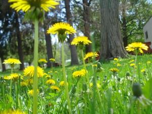 Dandelions - it's not a weed, it's medicine!