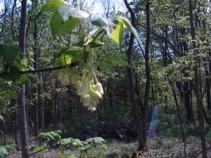 Bladdernut blossom - weird name, awesome blossom.